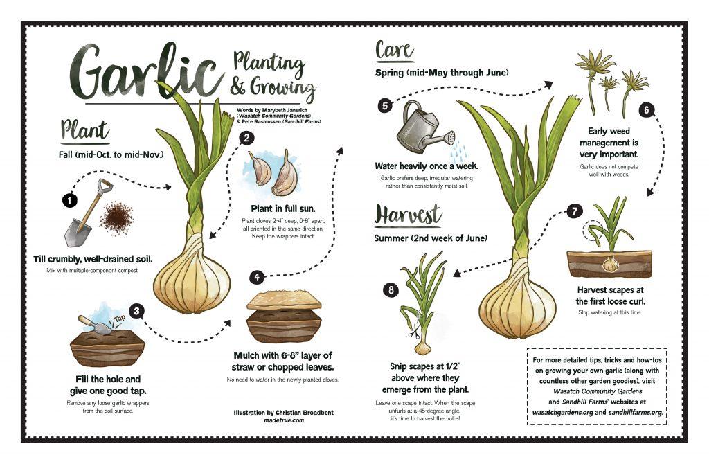 Garlic Planting & Growing