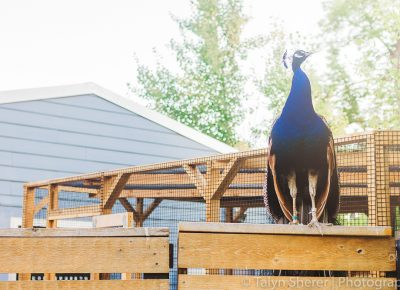 The Tracy Aviary peacock gets to a higher elevation to scout out its next sampling booth. Photo: Talyn Sherer