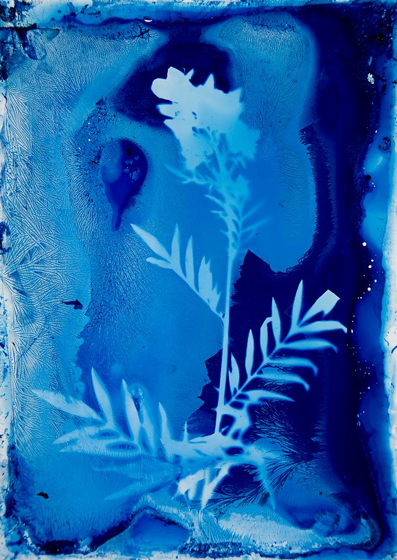 "Christine Baczek, ""Pretty Jacobs Ladder (Polemonium pulcherrimum)."""