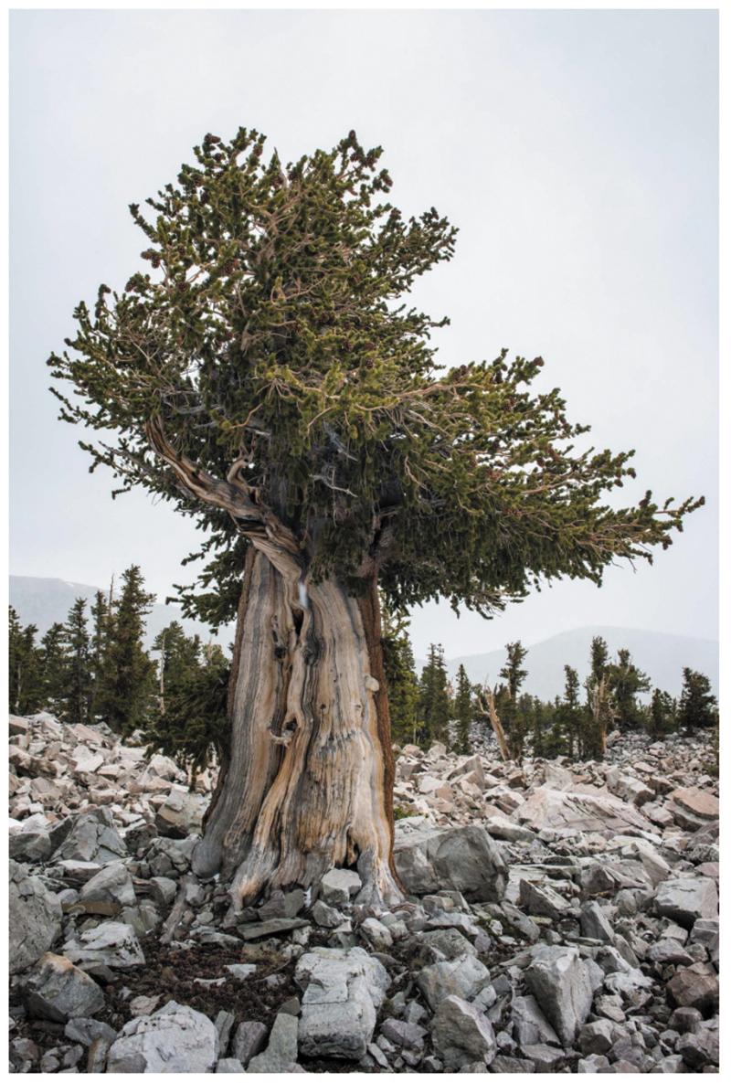 "Russel Albert Daniels, ""Great Basin Bristlecone, NV"" (2017)"