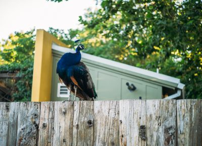 A Tracy Aviary peacock perched on a fence, watching the event. Photo: @clancycoop