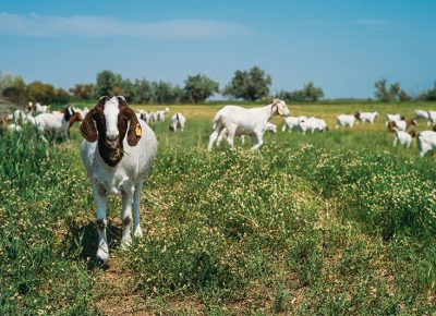 The goats of The East African Refugee Goat Project of Utah reside 15 minutes from Downtown, on a ranch run by the IRC outside of the Salt Lake City International Airport. Photo: @clancycoop