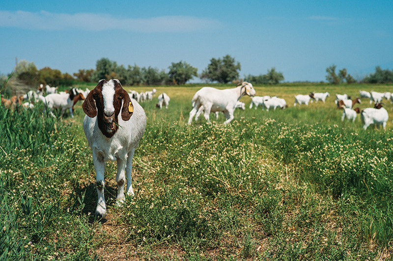 We're Going to Need a Bigger Goat: The East African Refugee Goat Project of Utah