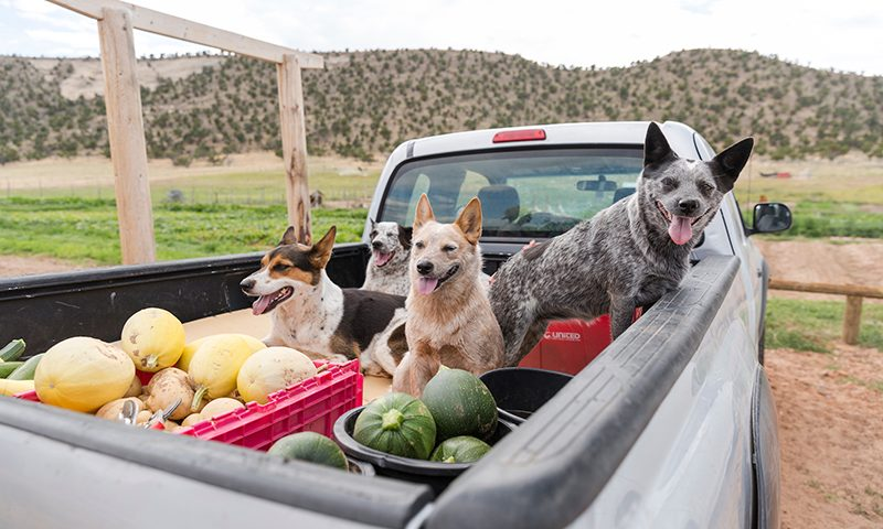 The farm truck (with the farmers' dogs) ready to bring up produce to the restaurant at the end of the day.
